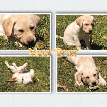 Assistance Dog Puppy Brax