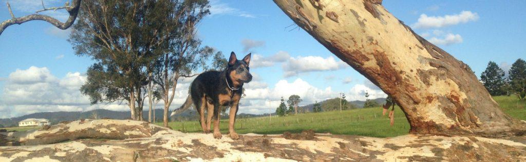 Working australian cattle dog