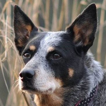 Know Your Breed; Australian Cattle Dog