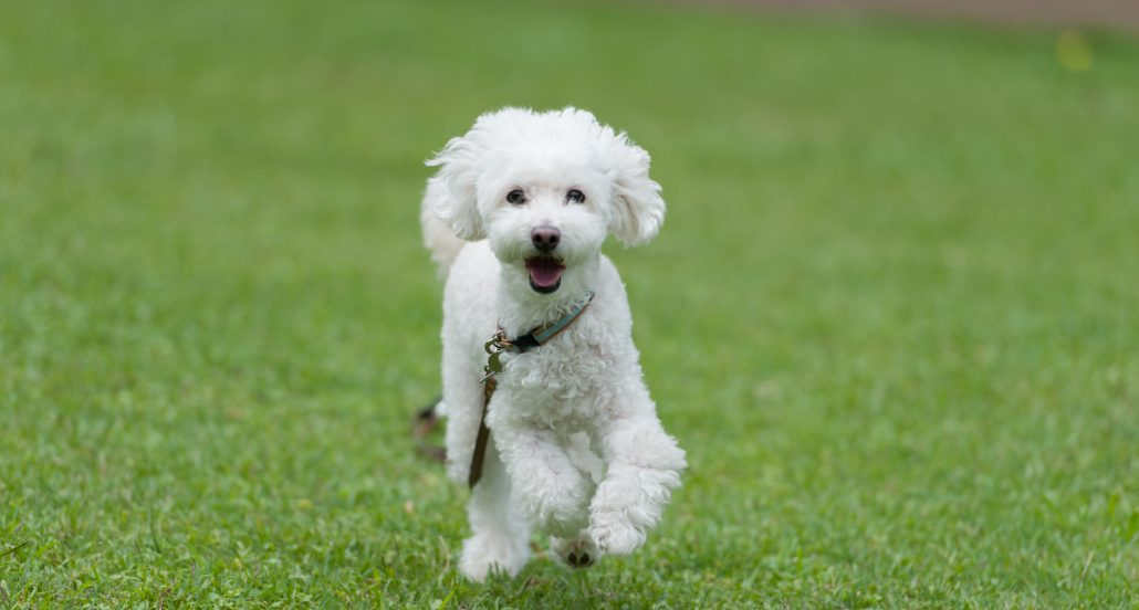 poodle running aussie pooch mobile clipping and grooming additional services petcare