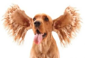 ear conditions ear care for dogs aussie pooch mobile dog wash and grooming additional services