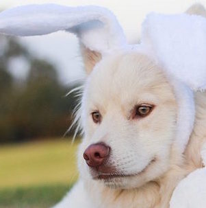 Plastic Easter egg hunt for your dog